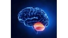 Анатомия мозжечка человека: его структура и функции