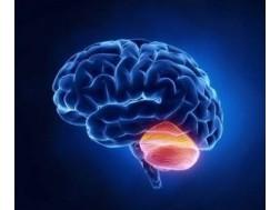 Мозжечок головного мозга человека и его функции, фото, где находится