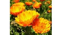 Календула: лечебные свойства и противопоказания, рецепты настоек