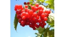Калина красная: полезные свойства и противопоказания, рецепты настоек
