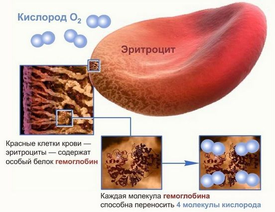 эритроцит с кислородом
