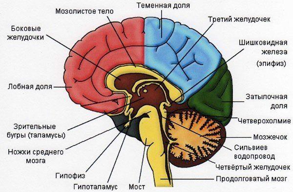 где находится в головном мозгу