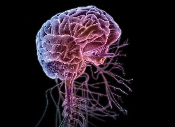 головной мозг с сосудами