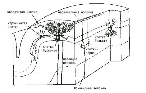 функция коры мозга