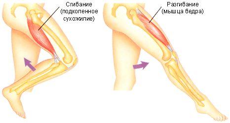 сгибание и разгибание ноги