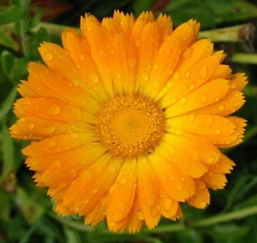 яркий цветок календула