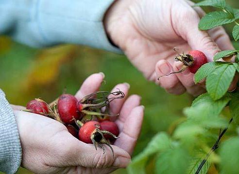 как собирать плоды