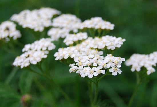 с белыми цветками