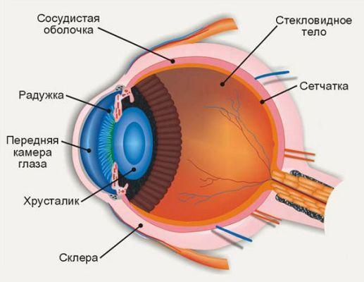 расположение хрусталика глаза и сетчатки