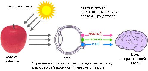 восприятие цветовыми рецепторами