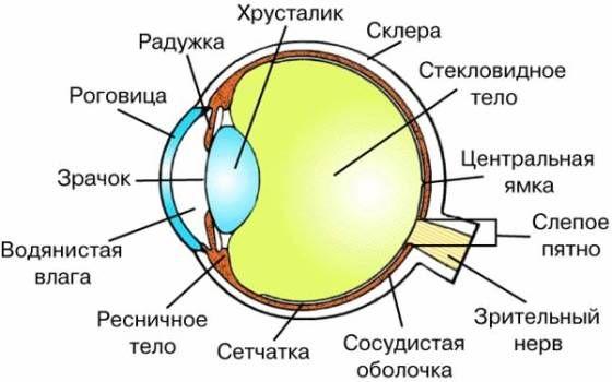 где находится хрусталик глаза