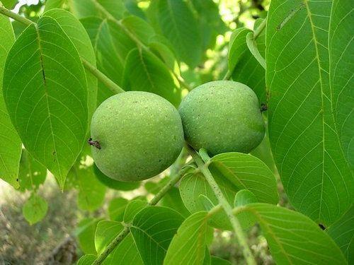 яблочный сбор