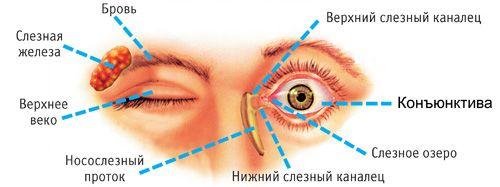 расположение глазных органов