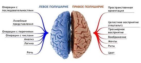 за что отвечают полушария мозга