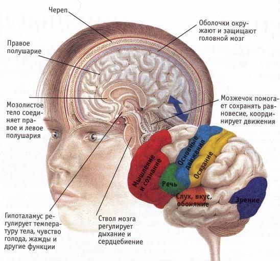 разделы головного мозга