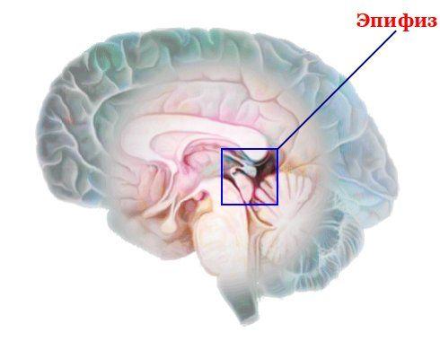 эпифиз мозга