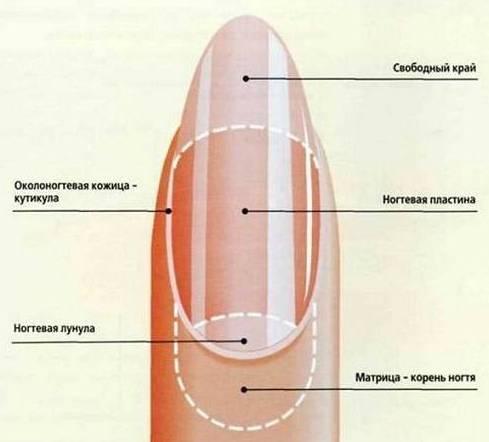 строение ногти