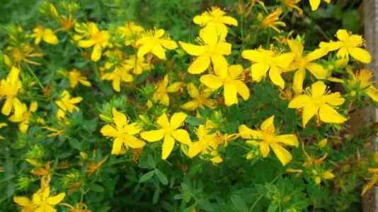 цветки зверобоя