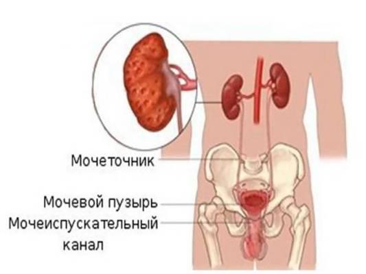 мочевыводящие органы