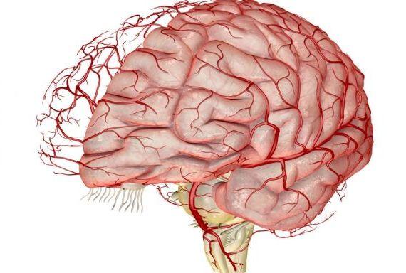кровеносные сосуды головного мозга человека