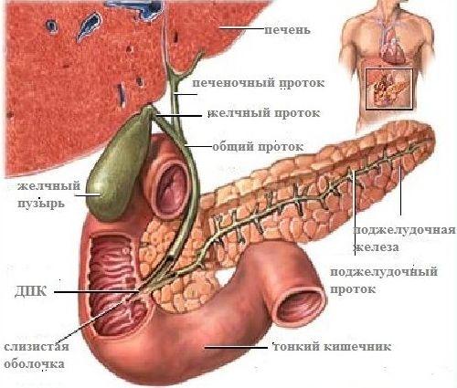 расположение органов в области живота