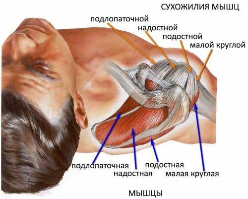 сухожилия мышц плеча