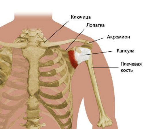 расположение костей в плечевом суставе