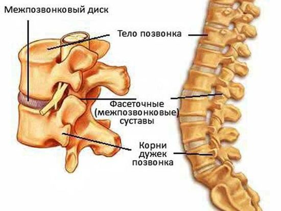 тело позвоночника с межпозвонковым диском