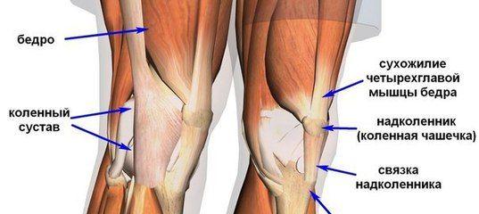 расположение коленных связок