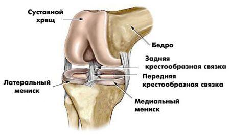 суставной коленный хрящ