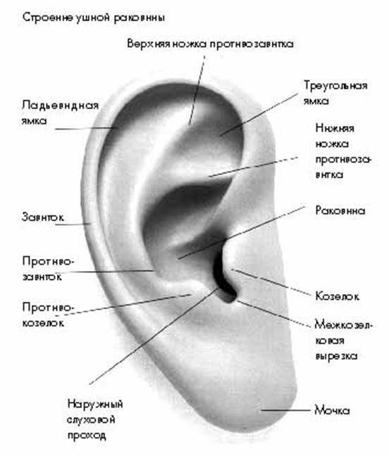 строение ушной раковины
