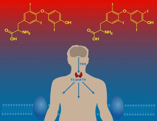 виды гормонов щитовидной железы
