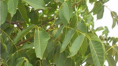 как растет на дереве