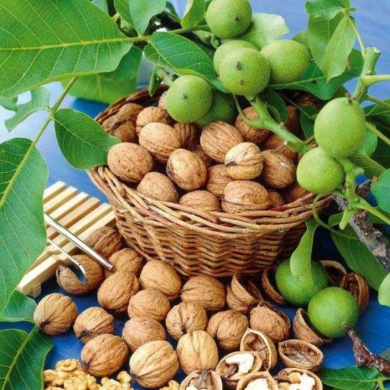 зеленые и спелые грецкие орехи