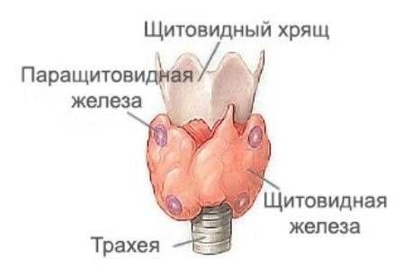 расположение щитовидной железы в гортани