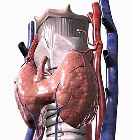 щитовидка в организме человека