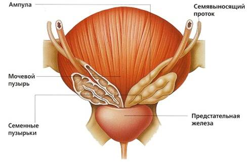 роль предстательной железы