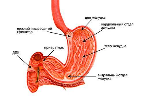 структура желудка