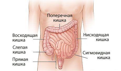 кишечник в деталях