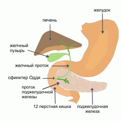 желудок с поджелудочной железой