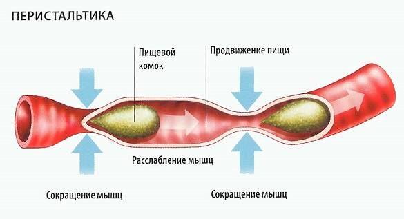 перистальтика