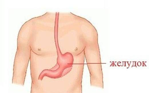 расположение желудка в организме человека
